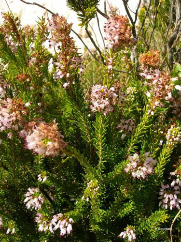 <i>Erica multiflora</i> L., 1753 © P. Gourdain