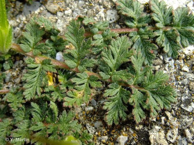 <i>Erodium cicutarium</i> (L.) L'Hér., 1789 ©
