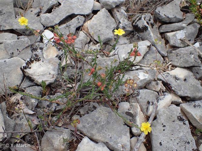 <i>Fumana ericifolia</i> Wallr., 1840 ©