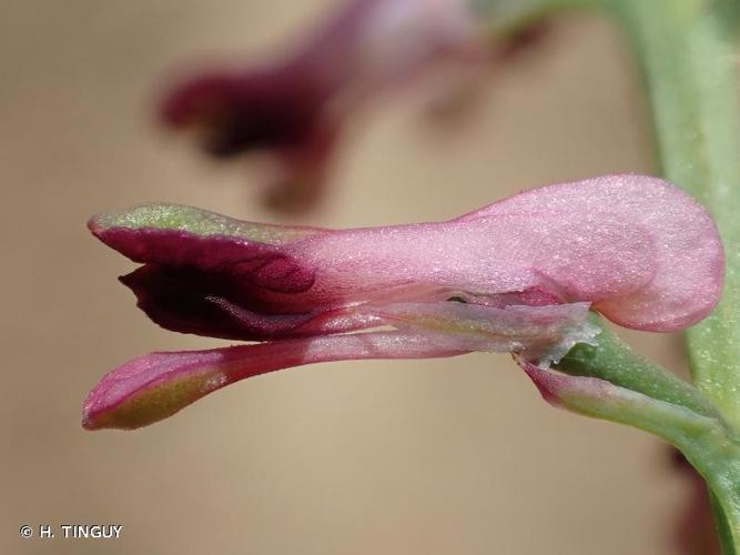 <i>Fumaria officinalis</i> L., 1753 © H. TINGUY