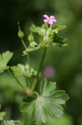 <i>Geranium lucidum</i> L., 1753 © S. Filoche