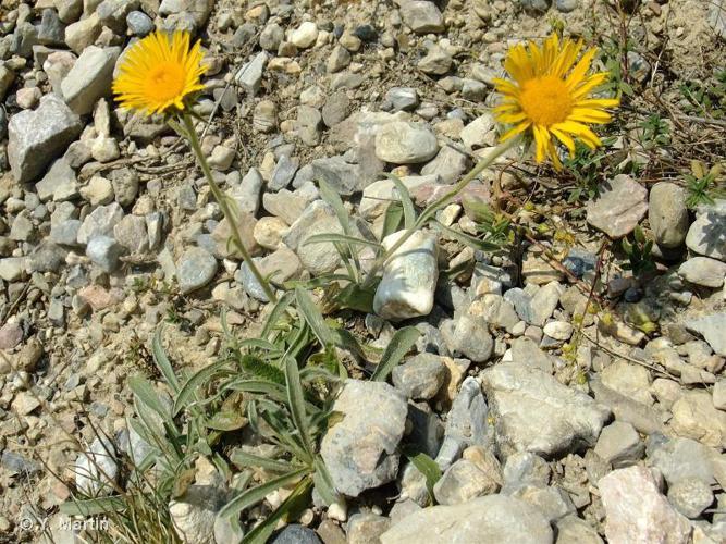<i>Inula montana</i> L., 1753 ©