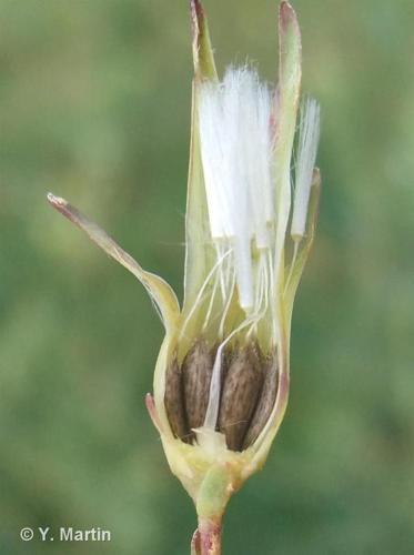 <i>Lactuca serriola</i> L., 1756 ©