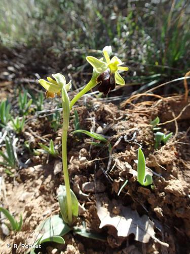 <i>Ophrys fusca</i> Link, 1800 © R. Poncet