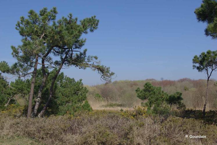 <i>Pinus pinaster</i> Aiton, 1789 © P. Gourdain
