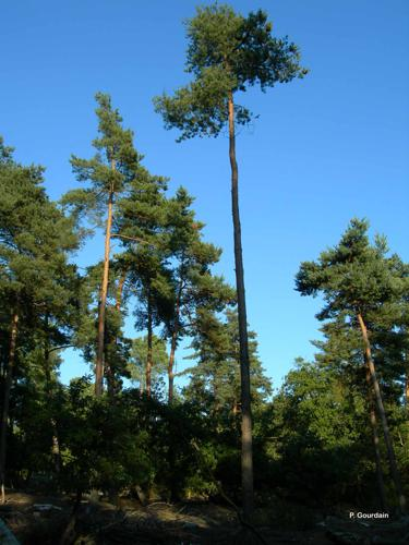<i>Pinus sylvestris</i> L., 1753 © P. Gourdain