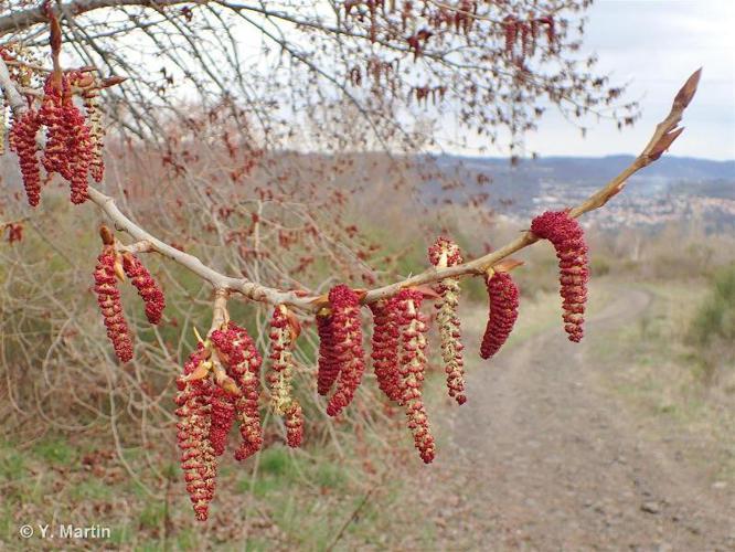 <i>Populus nigra</i> L., 1753 ©