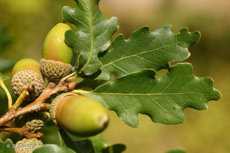 <i>Quercus pubescens</i> Willd., 1805 © S. Filoche