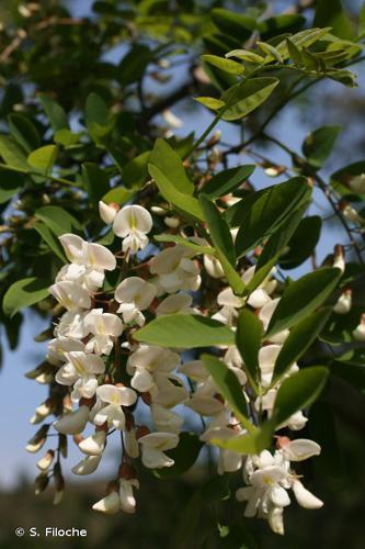 <i>Robinia pseudoacacia</i> L., 1753 © S. Filoche