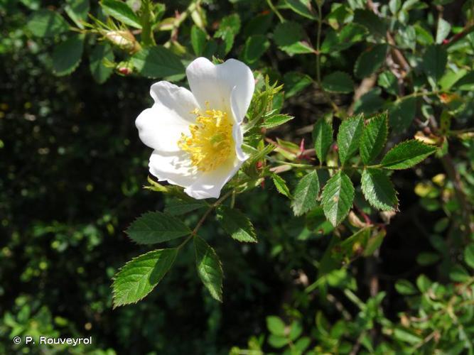 <i>Rosa agrestis</i> Savi, 1798 © P. Rouveyrol