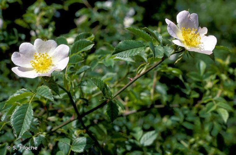 <i>Rosa canina</i> L., 1753 © S. Filoche
