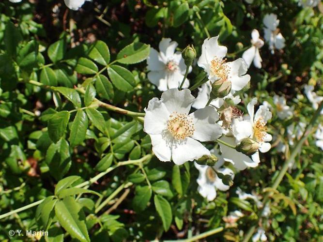 <i>Rosa sempervirens</i> L., 1753 ©