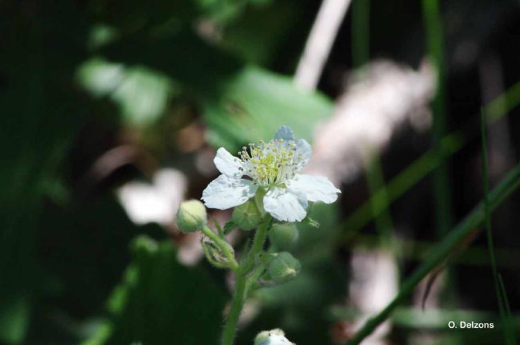 <i>Rubus canescens</i> DC., 1813 © O. Delzons