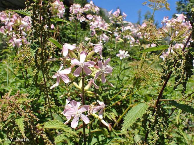 <i>Saponaria officinalis</i> L., 1753 ©