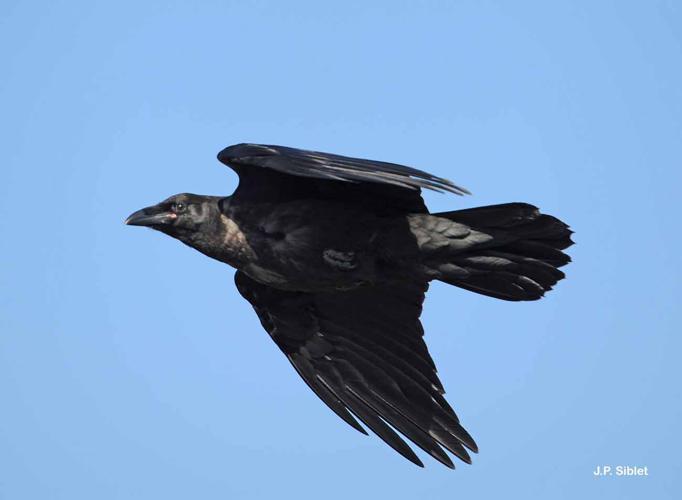 <i>Corvus corax</i> Linnaeus, 1758 © J.P. Siblet