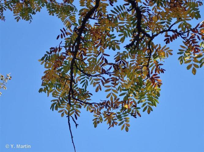 <i>Sorbus domestica</i> L., 1753 ©