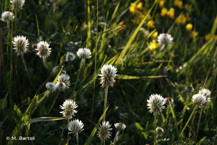 <i>Trifolium montanum</i> L., 1753 © M. Bartoli