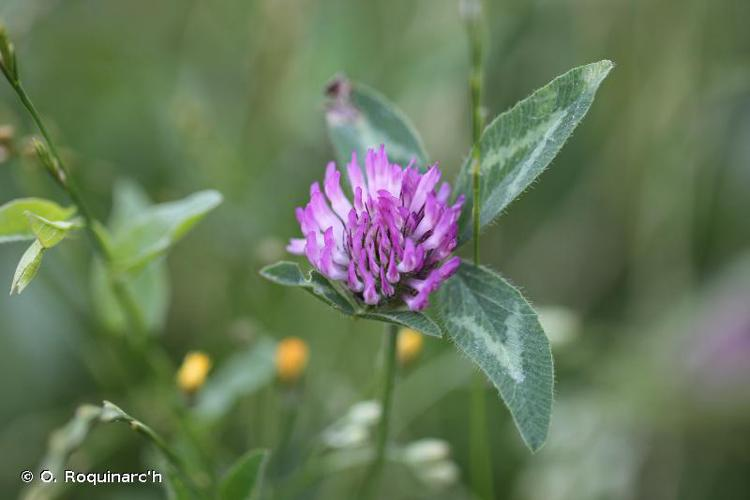 <i>Trifolium pratense</i> L., 1753 © O. Roquinarc'h