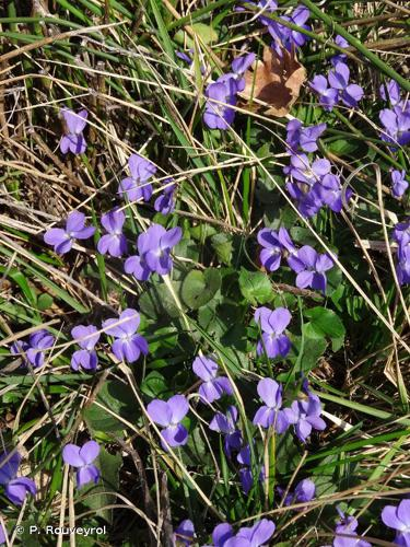 <i>Viola odorata</i> L., 1753 © P. Rouveyrol
