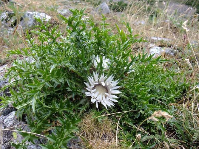<i>Carlina acaulis </i>subsp.<i> caulescens</i> (Lam.) Schübl. & G.Martens, 1834 ©