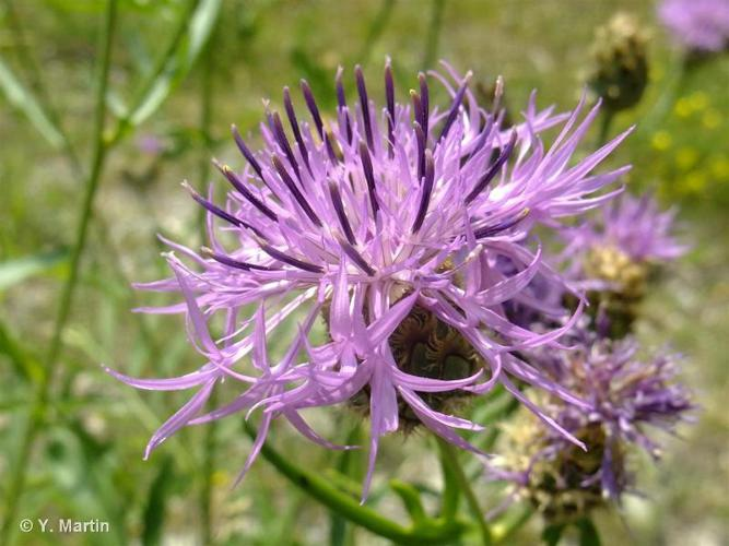 <i>Centaurea scabiosa </i>L., 1753 subsp.<i> scabiosa</i> ©