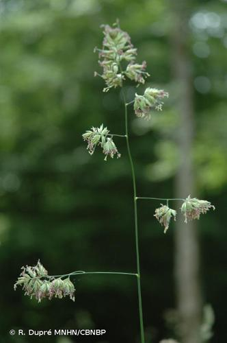 <i>Dactylis glomerata </i>L., 1753 subsp.<i> glomerata</i> © R. Dupré MNHN/CBNBP