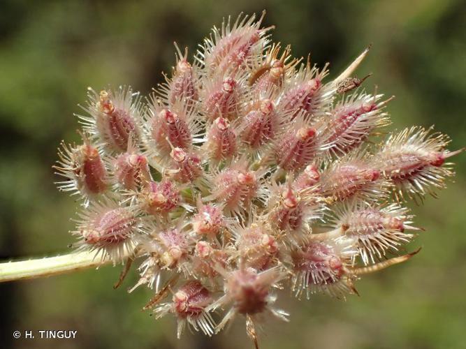 <i>Daucus carota </i>L., 1753 subsp.<i> carota</i> © H. TINGUY