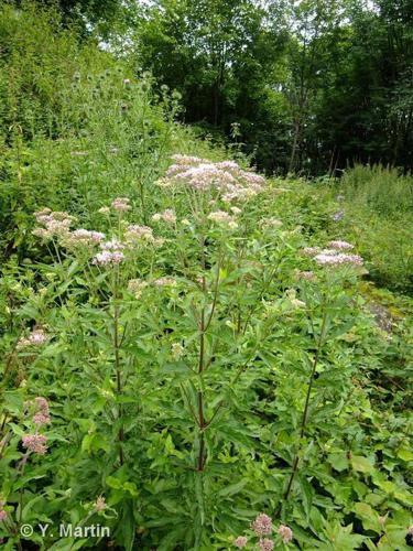 <i>Eupatorium cannabinum </i>L., 1753 subsp.<i> cannabinum</i> ©