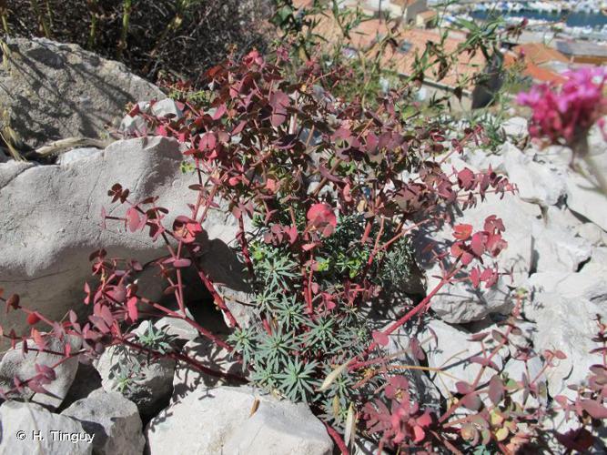 <i>Euphorbia segetalis </i>L., 1753 subsp.<i> segetalis</i> © H. Tinguy