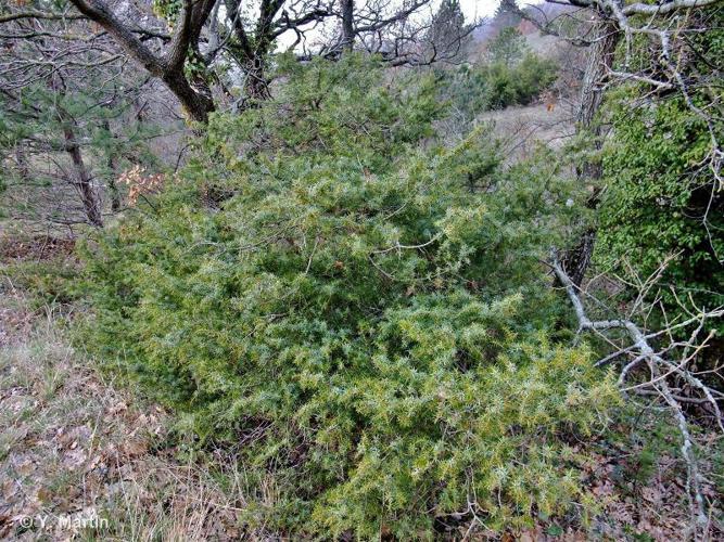<i>Juniperus communis </i>L., 1753 subsp.<i> communis</i> ©