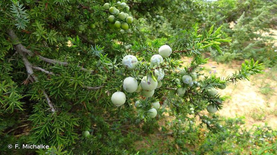 <i>Juniperus oxycedrus </i>L., 1753 subsp.<i> oxycedrus</i> © F. Michalke