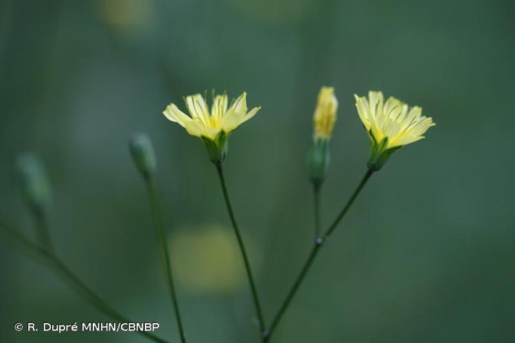 <i>Lapsana communis </i>L., 1753 subsp.<i> communis</i> © R. Dupré MNHN/CBNBP