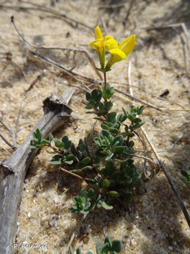 <i>Lotus corniculatus </i>L., 1753 subsp.<i> corniculatus</i> © P. Rouveyrol