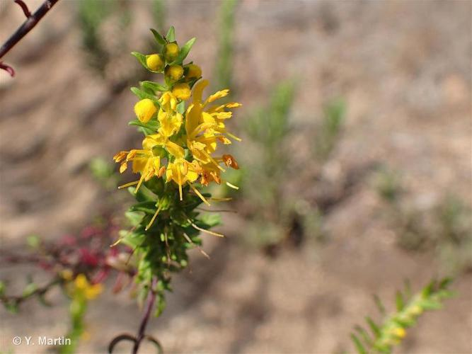 <i>Odontites luteus </i>(L.) Clairv., 1811 subsp.<i> luteus</i> ©