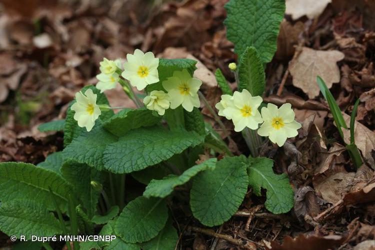 <i>Primula vulgaris </i>Huds., 1762 subsp.<i> vulgaris</i> © R. Dupré MNHN/CBNBP