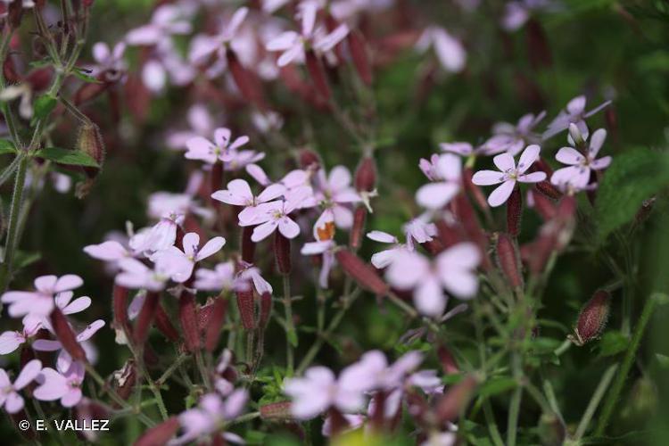 <i>Saponaria ocymoides </i>L., 1753 subsp.<i> ocymoides</i> © E. VALLEZ