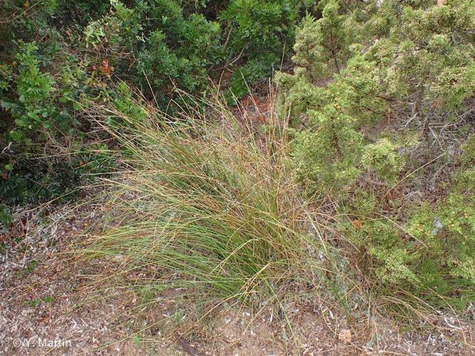 <i>Scirpoides holoschoenus </i>(L.) Soják, 1972 subsp.<i> holoschoenus</i> ©