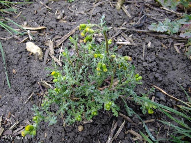 <i>Senecio vulgaris </i>L., 1753 subsp.<i> vulgaris</i> ©