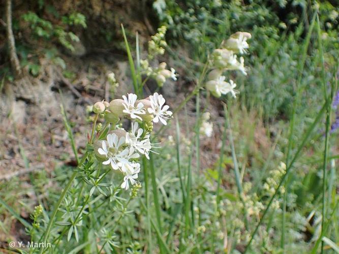 <i>Silene vulgaris </i>(Moench) Garcke, 1869 subsp.<i> vulgaris</i> ©