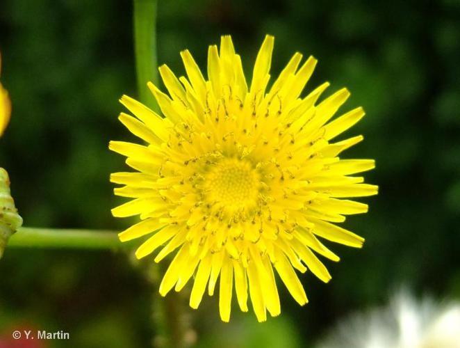 <i>Sonchus asper </i>(L.) Hill, 1769 subsp.<i> asper</i> ©