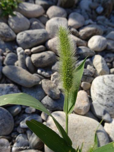 <i>Setaria italica </i>subsp.<i> viridis</i> (L.) Thell., 1912 © P. Rouveyrol