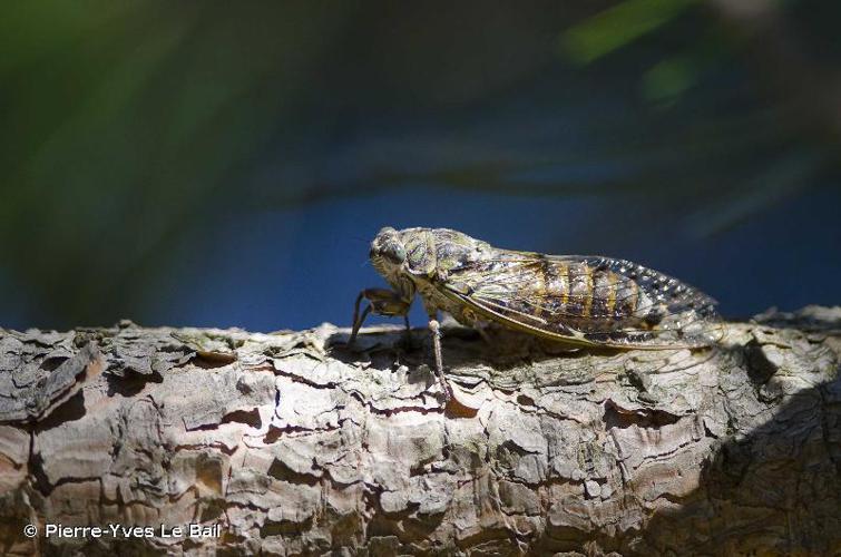 <i>Cicada orni</i> Linnaeus, 1758 © Pierre-Yves Le Bail