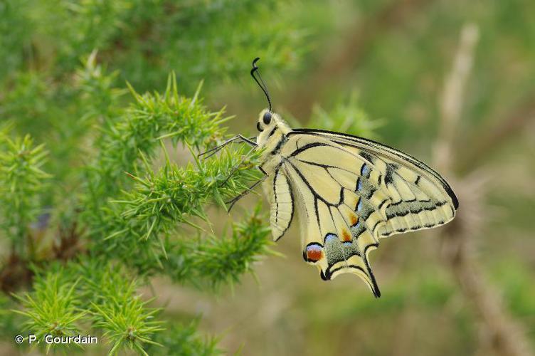 <i>Papilio machaon</i> Linnaeus, 1758 © P. Gourdain