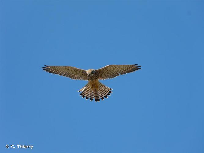 <i>Falco tinnunculus</i> Linnaeus, 1758 © C. Thierry