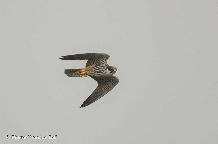 <i>Falco subbuteo</i> Linnaeus, 1758 © Pierre-Yves Le Bail