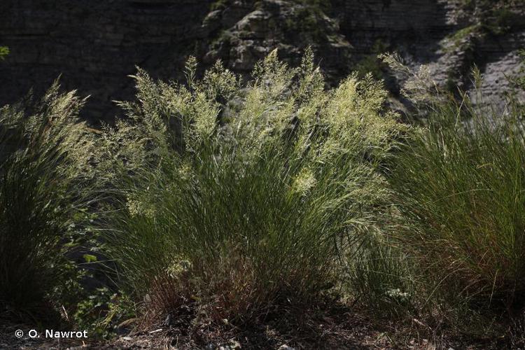 <i>Achnatherum calamagrostis</i> (L.) P.Beauv., 1812 © O. Nawrot