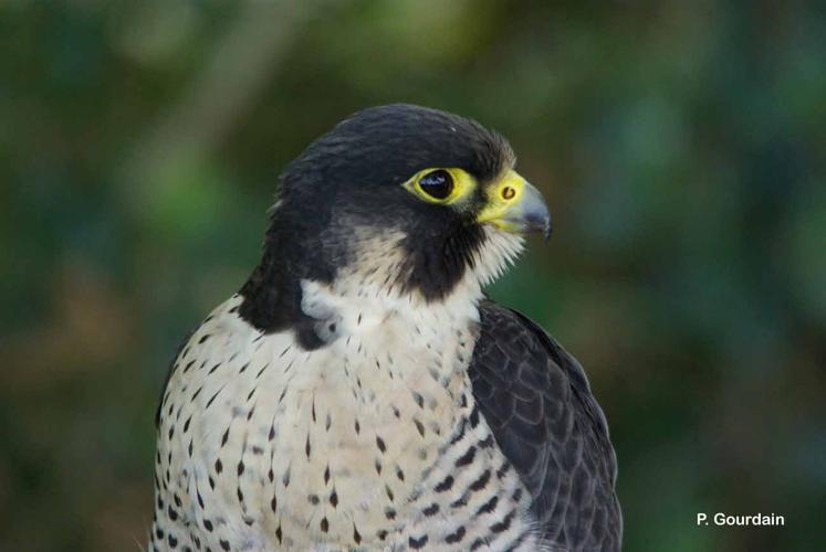 <i>Falco peregrinus</i> Tunstall, 1771 © P. Gourdain