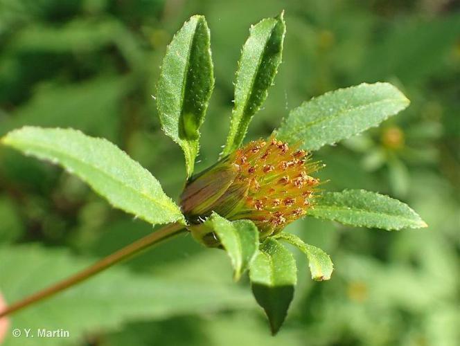 <i>Bidens frondosa</i> L., 1753 ©