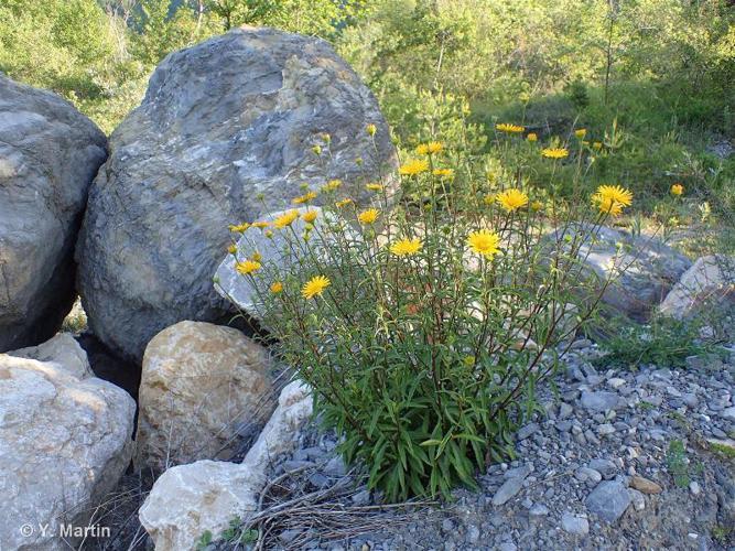 <i>Buphthalmum salicifolium</i> L., 1753 ©