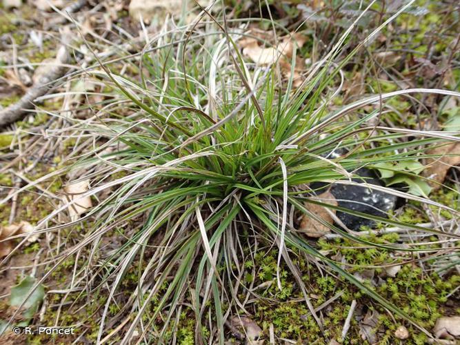 <i>Carex halleriana</i> Asso, 1779 © A.-H. Paradis & R. Poncet